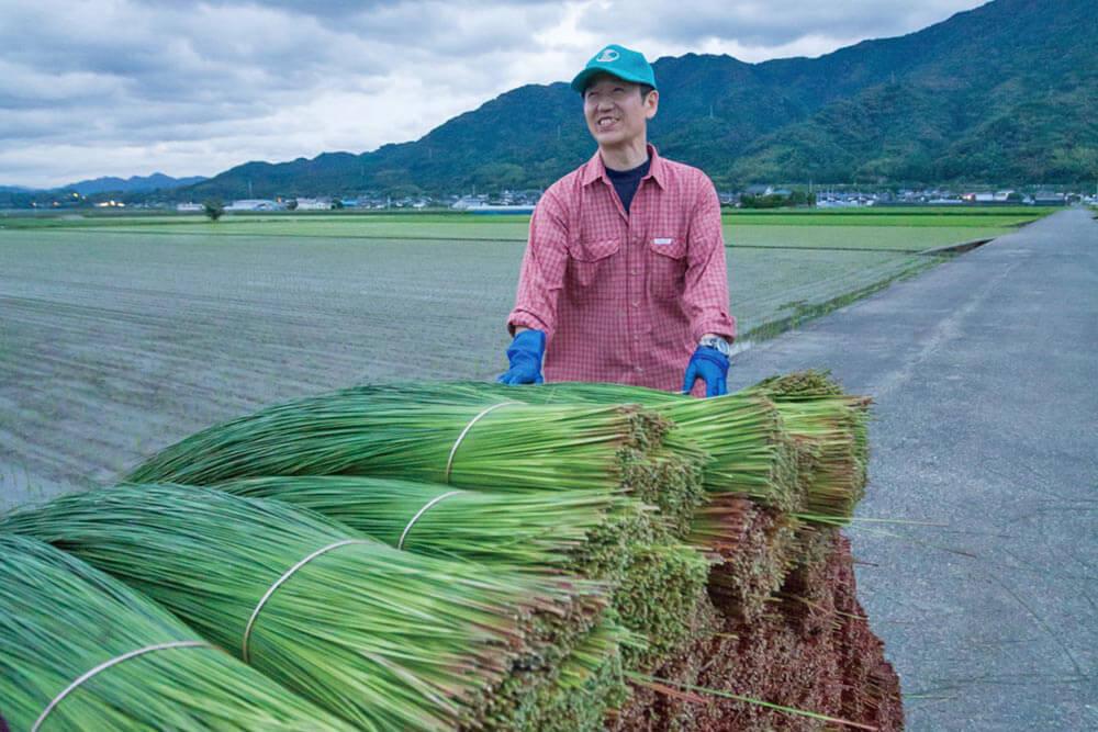 畳のイ草の産地 熊本県八代市でのイ草刈り取り作業
